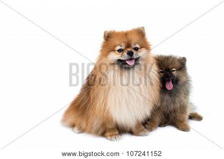 Pomeranian Dog Stading On Isolated Background
