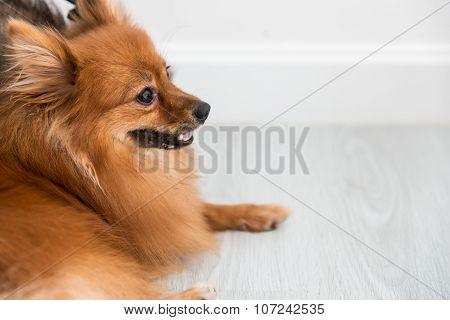 Pomeranian Dog Cute Pets Happy In Home