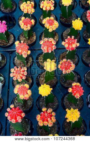 Agriculture Of Mini Cactus