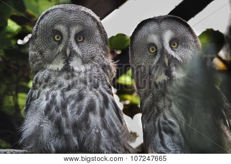 Close-up Portrait Of Great Grey Owls Pair Looking At Camera