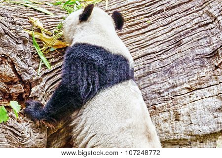 Cute Bear Panda Walks On Nature Around Den.