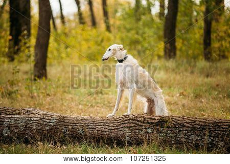 Dog Russian Borzoi Wolfhound Outdoors, Autumn Season