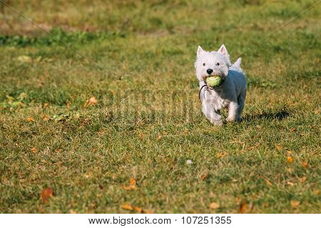 Small White West Highland White Terrier - Westie, Westy Dog