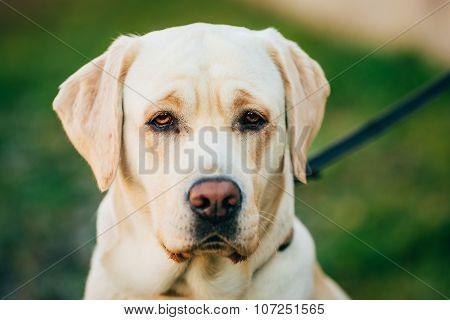 Close Up Adult White Labrador Dog