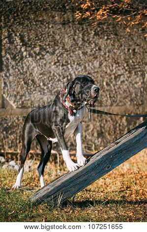Great Dane Big Dog. Deutsche Dogge, German mastiff.