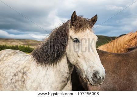 Icelandic Horses In Nature