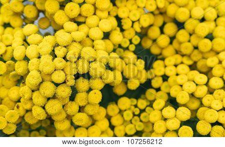 Perennial Herb.tansy (tanacetum)