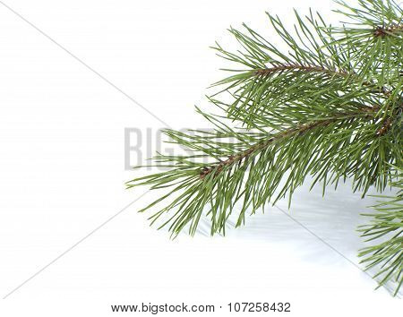 Scots Pine Branch..