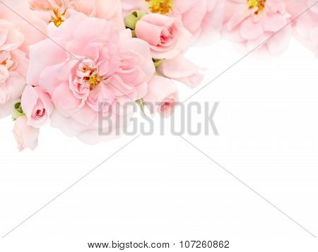 Pink Roses And Buds In The Corner Of The White Background