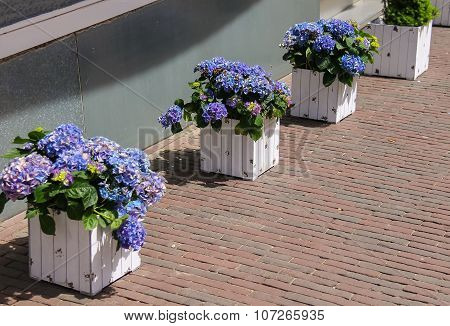 Wooden Boxes With Violet Flowers Hydrangea Like A Decoration On The Sidewalk. Zandvoort, The Netherl