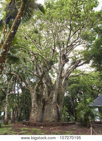 large baobab. Mauritius
