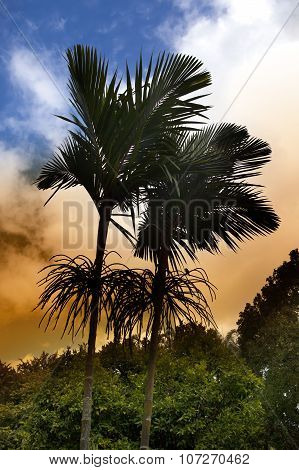 royal palm tree at sunset Mauritius(Roystonea regia)