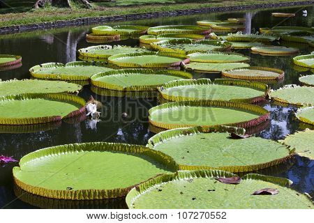 The lake in park with Victoria amazonica Victoria regia. Mauritius.