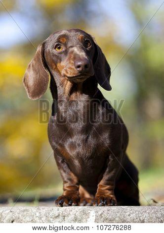 dachshund achshund dog dog