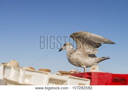 Seagull landing on a crate filled with freshly fished scallops