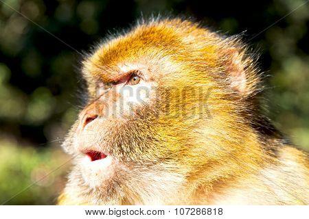 Bush Monkey In Africa Morocco