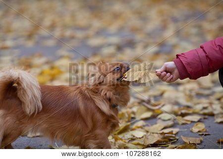 Boy Plays With A Pekingese By Leaf