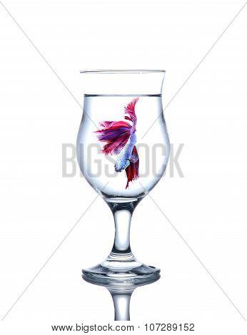 siamese fighting fish in a wine glass