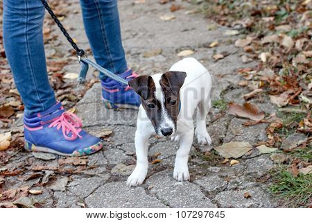 Little dog Jack Russell - Terrier