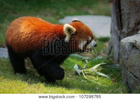 Red panda on grass