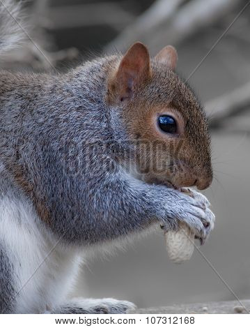 grey or gray squirrel