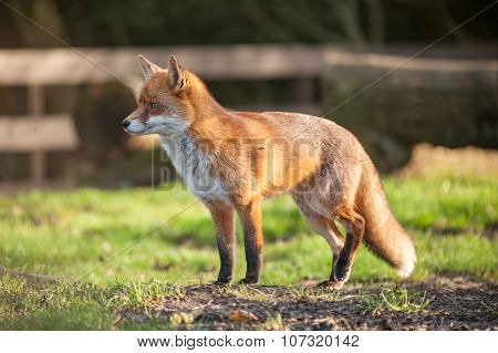 Standing fox in park