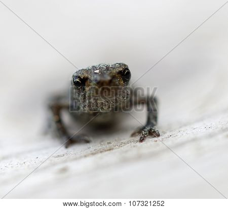 Baby Frog Front View