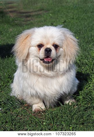 Beige puppy  pekingese  on spring lawn