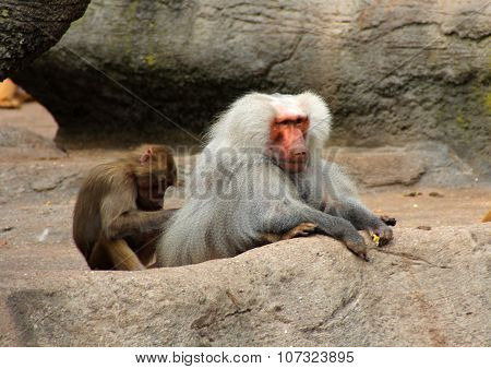 The Image Of The Monkey Family
