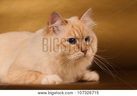 Siberian cat on golden background