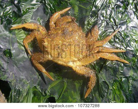 Telmessus cheiragonus, Helmet crab