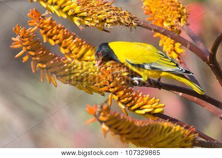 Lack-headed Oriole Sitting On Yellow Aloe Catch Bee