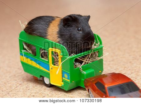 Guinea Pig In Trailer