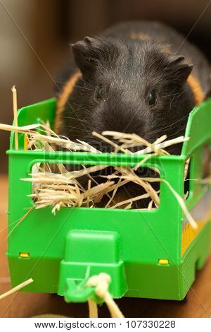 Guinea Pig On Hay In Trailer