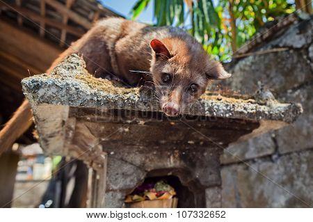 Luwak - Balinese Viverra
