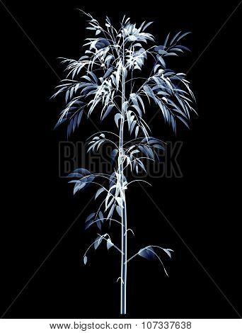 Xray Bamboo Tree Isolated On Black