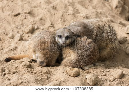 Meerkats In Zoo