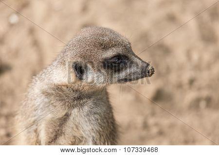 Meerkat In Zoo