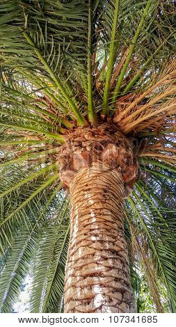 Crown Of Guadalupe Island Palm