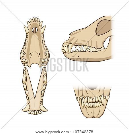 Veterinary vector illustration teeth of the dog