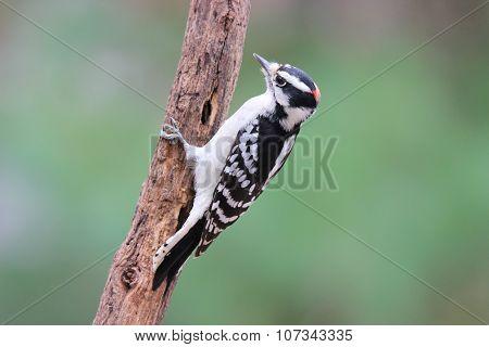 Downy Woodpecker in Fall