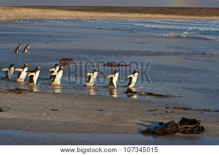 Gentoo Penguins Going Fishing