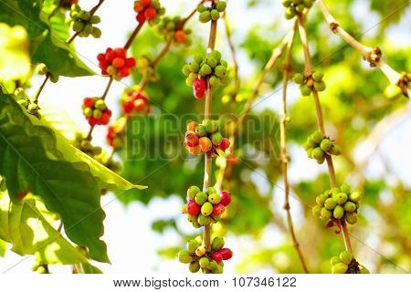 Colorful Berries Coffee Beans Ripen Under The Sun