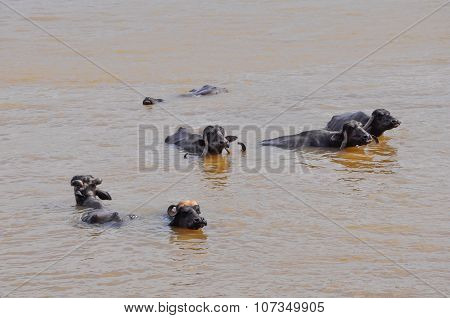 Water Buffalo Cooling In The Muddy River