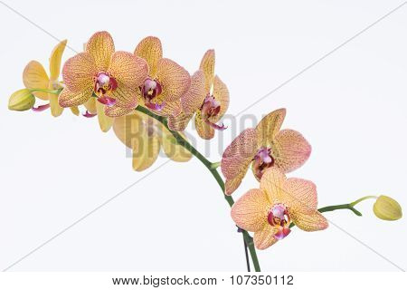 Yellow Phalaenopsis Orchids