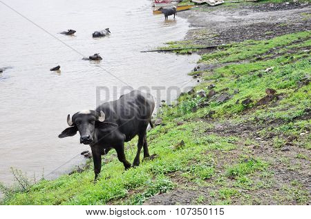 Young Water Buffalo In India