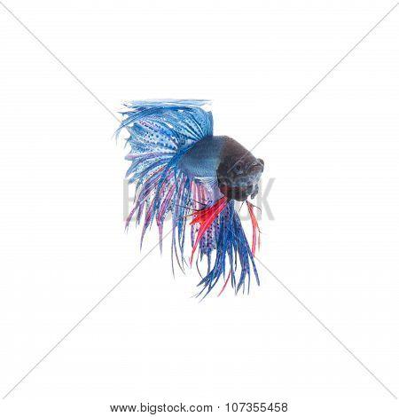 Blue Siamese Fighting Fish, Betta Splendens Isolated On White Background