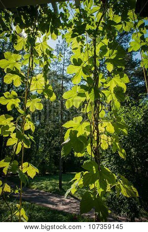 Green Leaves Of Girlish Grape In The Sun, Russia