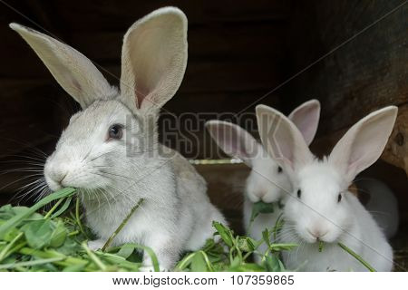 Group Of Fur Domestic Rabbits Eating Fresh Grass In Hutch On Farm