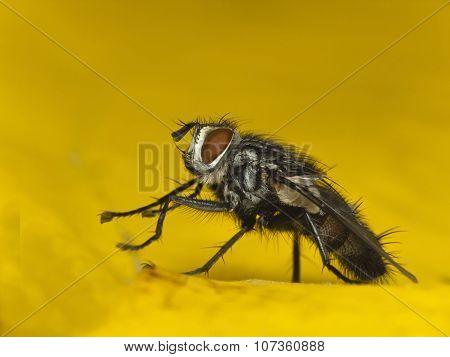 Flesh Fly- Sarcophaga Carnaria